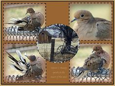 Beautiful Morning Dove Collage by Bobbee Rickard FineArt America.