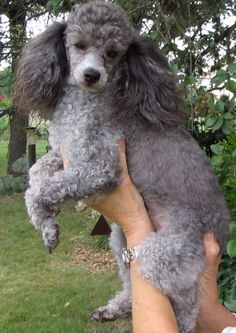 Grey Toy Poodle | dog poodle toy silver grey muzzle name wilbur tag 1466