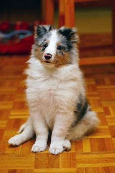 ~ Blue Merle Sheltie Pup ~