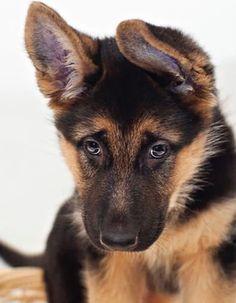 GSD Puppy-Jayde