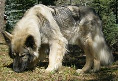 Old grey American Alsatian wallpaper: American Alsatian, a breed that has been selected to have some physical traits of the extinct dire wolf (Canis dirus) but yet to be as gentle and easily trained as the German Shepherd.