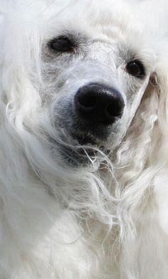 Portrait of a standard poodle