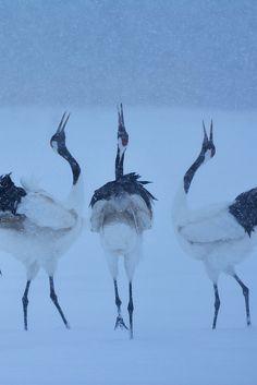 Japanese Red Crane, Hokkaido, Japan