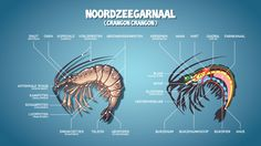 Noordzeegarnaal - North Sea Shrimp (Crangon crangon)