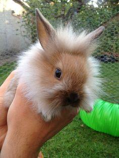 Baby Lionhead Rabbit.