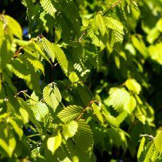 Carpinus betulus 'Frans Fontaine' - Hornbeam - Tree Shrub - Majestic Trees