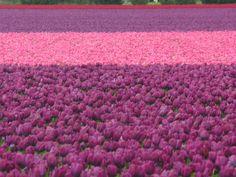 pink purple tulips