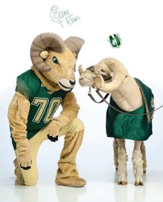 Colorado State University Rams. CAM the Ram. CAM is both a costumed human and bighorn sheep. In 1946 an alumnus won a contest to name the mascot CAM, referring to the name of the school Colorado Agricultural and Mechanical College.