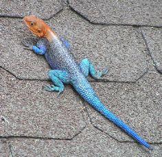 Beautiful lizard.