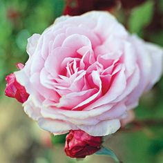 Sweet Surrender  You'll love this hybrid tea's silvery-pink color that shimmers in the garden, especially at dusk. It also bears a rich, old-rose scent that will take you back to your grandmother's garden.    Name: Rosa 'Sweet Surrender'    Growing Conditions: Full sun and moist, well-drained soil    Size: To 5 feet tall and 4 feet wide    Fragrance: Slight    Zones: 5-9    Year It Won: 1983