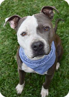 Dublin, CA - Pit Bull Terrier Mix. Meet Denver, a dog for adoption. http://www.adoptapet.com/pet/13574148-dublin-california-pit-bull-terrier-mix