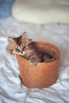 Beautiful kitten in a basket #cat  #cats  =^..^= www.zazzle.com/kittyprettygifts