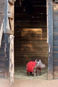 "Baby Rhino: ""Maalim"" by his stable door at the David Sheldrick Wildlife Trust"