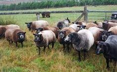 Blue Texel Sheep