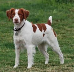 The Brittany Spaniel is a breed that originated in the northwestern side of France during the Middle Ages. However, the Brittany Spaniel has ties going back to when the Norman nobles conquered England in 1066. Since the northwestern side of France was a very popular hunting ground, they were developed as a hunting dog mainly to retrieve birds.