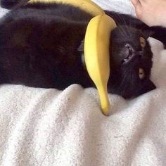 kittens - Reposted from poorcats The banane it HURTS cursedcats perfect nom cats cat catto funnycats funnymemes funny cursedimage cursedmemes cursed happy catmemes fortnite cat cats kitty kitten meme memes catmemes catmeme Baby Animals, Funny Animals, Cute Animals, I Love Cats, Cool Cats, Meme Chat, Animal Memes, Cat Memes, Memes Humor