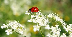 The Benefits of Ladybugs and How to Attract Them to Your Garden | Life's Dirty. Clean Easy.