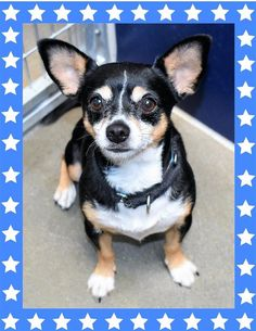 Chihuahua dog for Adoption in Seattle, WA. ADN-699509 on PuppyFinder.com Gender: Male. Age: Young