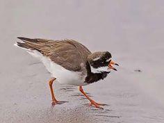 Tylli, Charadrius hiaticula - Perkkaa - 25.5.2018 Shorebirds, Sea Birds, Bird Houses, Natural Beauty, Scenery, Wildlife, Nature, Animals, Photos