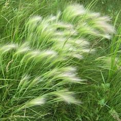 EKORRKORN i gruppen Ettåriga blomsterväxter / Gräs hos Impecta Fröhandel (2193)