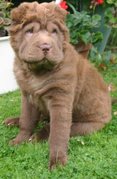 1000 Images About Bear Coat Shar Pei Gallery On