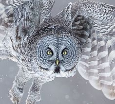 The Great Grey Owl. An amazing owl that survives in bitter cold temperatures and is able to hunt by hearing the faintest of sounds from deep
