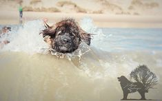 Agro the waterboy #Leonberger #hillhavenleonbnergers