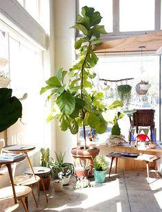 os Achados | Décor | Plantas | Ficus Lyrata