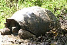 Galapagos tortue
