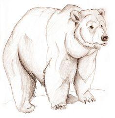bear sketches   Bear sketch.. by UrsusArctos on deviantART