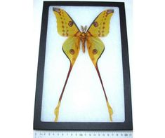 We have a much wider variety of items available on our website: www.BicBugs.com All of our insects are hand raised or from sustainable sources such as butterfly farms and aviaries. People in third world countries are cutting down the forest to plant mass crops, which are more profitable than what Giant Moth, Habitat Destruction, Third World Countries, Sea Glass Crafts, Barn Wood Frames, Shadow Box Frames, Pebble Art, Modern Wall Art, Fashion Art