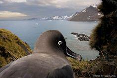 Sooty Albatross.  Albatros oscuro (Phoebetria fusca) www.josafat.com.ar