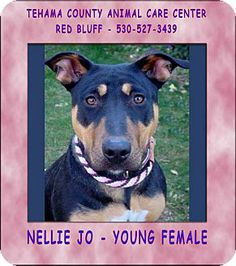 Red Bluff, CA - Bull Terrier Mix. Meet NELLIE JO a Dog for Adoption.