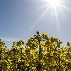 Sonniges #Gelb #99instagramers freuen sich auf das schöne Wetter. #spring #igerskoblenz #rheinstagram #koblenzergram by 99igers