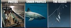 """OCEARCH - really neat research organization. They tag great white sharks with receivers on their dorsal fins. Each shark given a name.. Click on their """"shark tracker"""" at the top right corner of their intro page. On the following page that comes up, you can pick which shark you want to see - and see where the shark was, and where they are right now."""