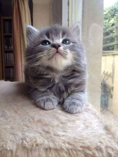 Kittens And Puppies, Cute Cats And Kittens, Kittens Cutest, Turkish Angora Cat, Angora Cats, Pretty Cats, Beautiful Cats, Cute Baby Animals, Funny Animals