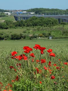 Poppies in a field with the rail and road bridges at Rochester Kent behind