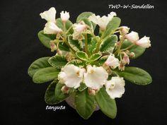 Two-w Sandellen (10846) 05/28/2016 (J. Baker/A. Wolgast-Widell) Single white bell/thin green edge. Variegated medium green and white, longifolia. Semiminiature