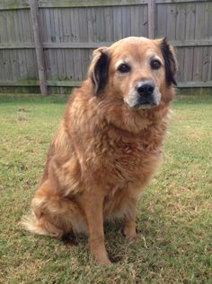 Meet Bailey, a Petfinder adoptable Golden Retriever Dog | Huntsville, AL | This girl is very sweet and would love to be adopted with her brother Chase.If you are interested...