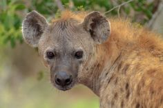 Portrait of a Spotted Hyena Hyena, Brown Bear, Wildlife, Portrait, Animals, Animales, Headshot Photography, Animaux, Portrait Paintings