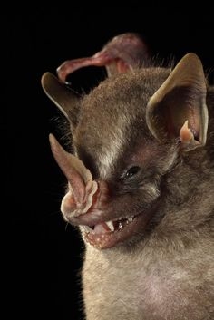 This American leaf-nosed bat, which was found at La Selva Biological Station in Costa Rica, shows off the folded, spearhead muzzle for which it is named.