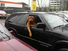 12 Reasons why you should never own a Mastiff