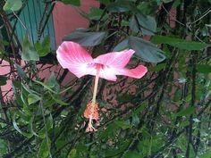 Hibiscos magicos