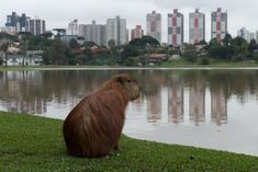 The capybara loves to live close to rivers and lakes.