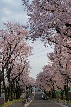 koganei_sakuratrees