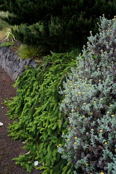 Picea (prostrate form) over a wall | Flickr - Photo Sharing!