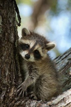 Baby Raccoon. Awwww... #cute #raccoon