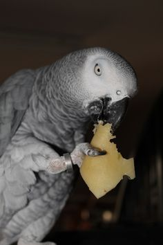 African Grey Parrot as Pet. Cute Birds, Pretty Birds, Beautiful Birds, Animals Beautiful, Piggy Back Ride, Mastiff Mix, African Grey Parrot, Parrot Toys, Sea Creatures