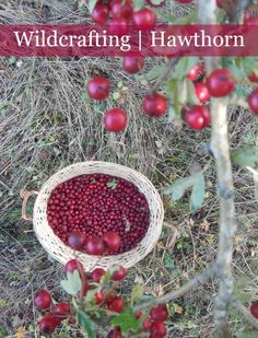 Wildcrafting with Hawthorn - did you know this herb is useful for strengthening the heart, and relieving anxiety and depression?