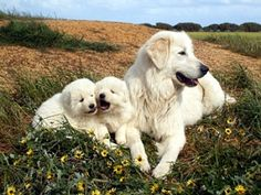 The Maremma Sheepdog originated in the mountains of Italy. The breed is over 2000 years old. - so similar to great pyrenees. Pyrenees Puppies, Great Pyrenees Puppy, Baby Puppies, Dogs And Puppies, Maremma Sheepdog, Dog Sounds, Dog Ages, Mountain Dogs, Big Dogs